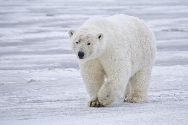 One very bad ice year could leave hundreds of Hudson Bay polar bears stranded on land for an extended period, say researchers. Photo: Alan Wilson/Wikimedia Commons