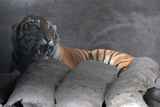 A file photo of an injured Royal Bengal tiger at an enclosure set up by park rangers at Kashara in Chitwan National Park, some 200kms southwest of Kathmandu. Photo: Prakash Mathema/AFP.