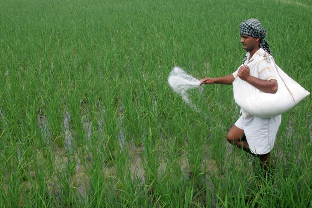A file photo of an Indian farmer using fertilizer in his field. Photo: Hindustan Times