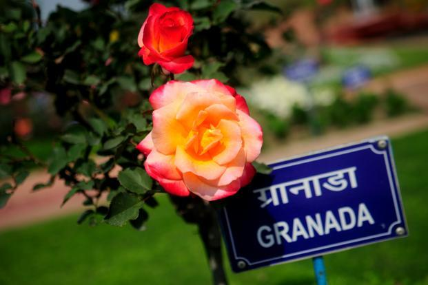 Many of the roses have names like Mother Teresa, Arjun, Bhim, Raja Ram Mohan Roy, John F. Kennedy, Queen Elizabeth and even Mr. Lincoln named after visiting dignitaries as well as mythological figures.