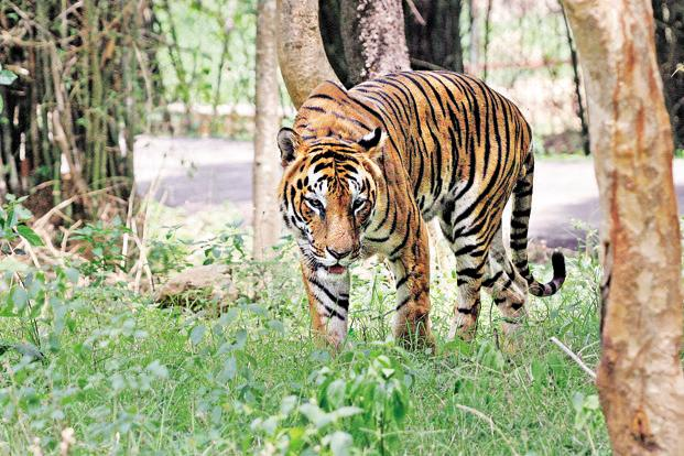 Climate Change >> Don't blame the tiger - Livemint