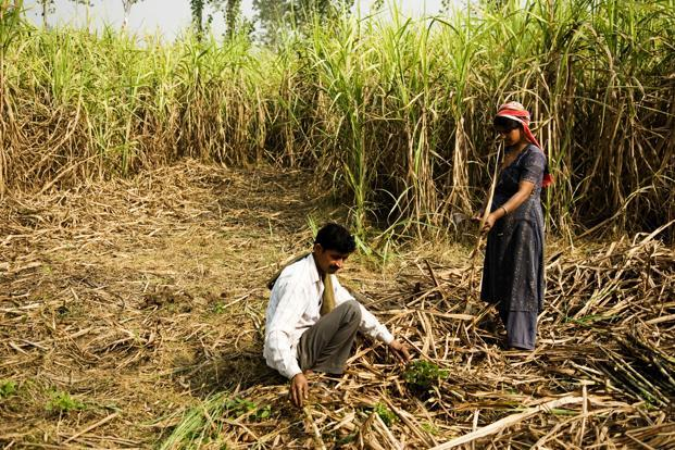 Sugarcane, one of the most water-intensive crops grown in the state, requires 10 times more water than jowar or nut and around 80% is ironically grown in regions that have a history of water scarcity. Photo: Mint (Mint)