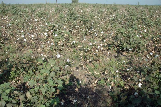 A recent study by the Centre for Social Development in Delhi has shown that the net returns to the farmer have gone up by 375% after the adoption of BT cotton. (A recent study by the Centre for Social Development in Delhi has shown that the net returns to the farmer have gone up by 375% after the adoption of BT cotton.)