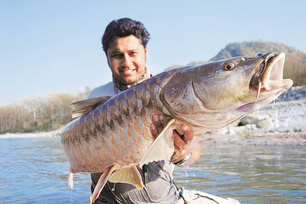 The mahseer is one of India's six species of sport fish adversely affected by habitat loss, human intervention in the form of infrastructure development, poaching and illegal fishing. Photo: Misty Dhillon