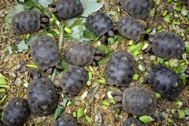 Little tortoises with genes of the Floreana Island giant tortoise species which were born in captivity, are fed in a breeding centre at the Galapagos National Park in Santa Cruz Island, in the Galapagos archipelago. Photo: AFP (AFP)