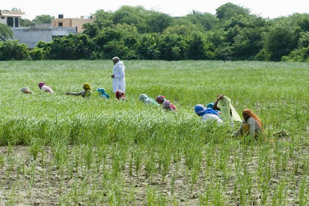Agriculture has seen a decline of 37 million employment in the seven-year period ending March 2012. Photo: Mint