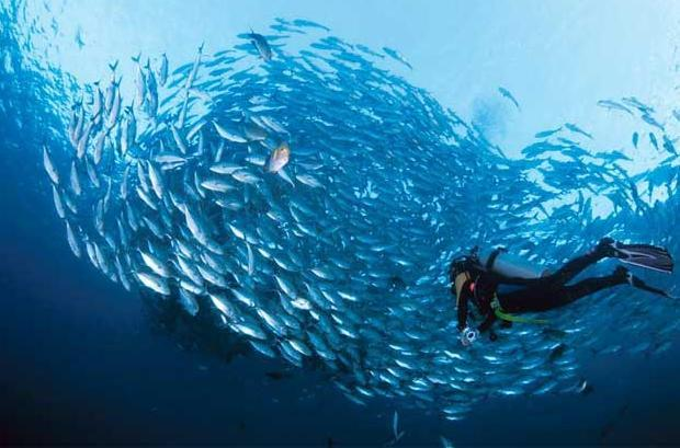 A diver comes across a Napoleon Wrasse surrounded by a giant school of Big-eye Trevally