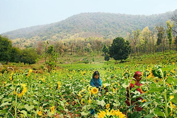 Parvati Gouda (left) tends her sunflower farm in Niyamgiri. Last July, Gouda voted against a plan to mine Niyamgiri for bauxite, saying the mountain held environmental and religious significance. Photo: Chitrangada Choudhury Aga