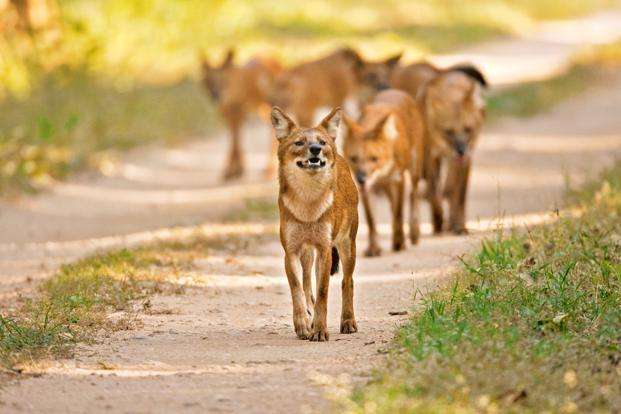 According to IUCN data, fewer than 2,500 mature wild dogs remain in the wild across its entire range and there is no known dhole population above 250 anywhere. Photo: Ramki Sreenivasan/Conservation India