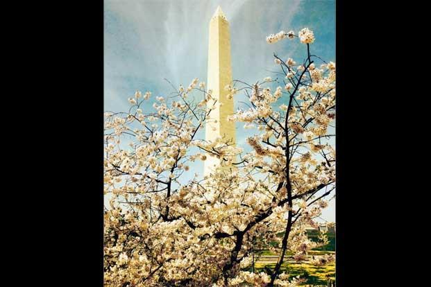 The Washington Monument through flowers. Photo: Jessica Glazer