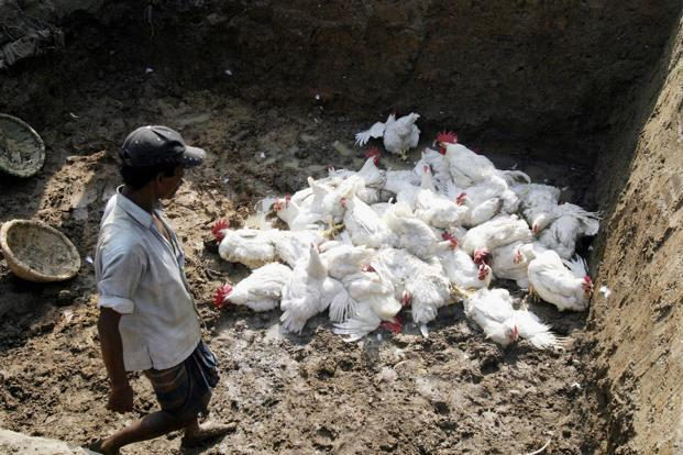 A study by a respected not-for-profit organization that claims resistance to antibiotics in humans is growing because of large-scale and indiscriminate use of these drugs by poultry farmers. Photo: Reuters