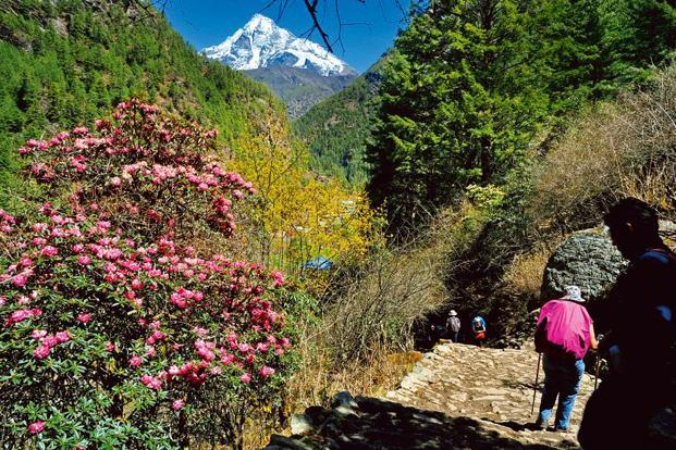 Rhododendrons bloom on the trail near the village of Monjo, 2,800m.