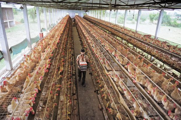 Poultry Farming Business Plan in Philippines