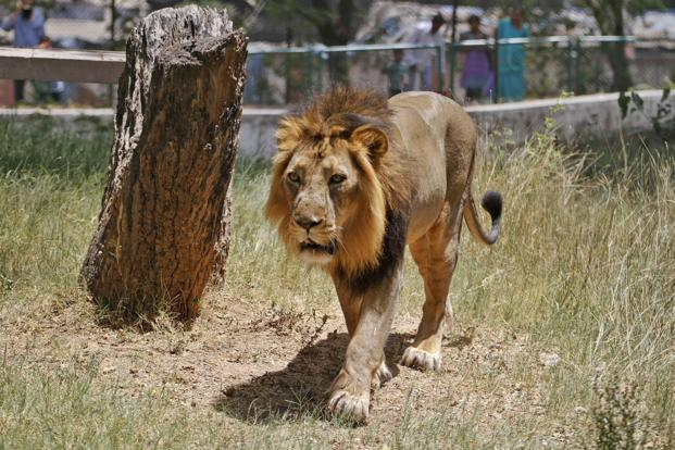 No second home for lions even as numbers grow