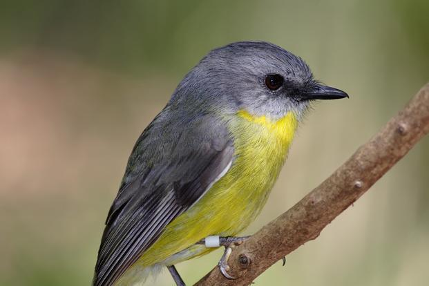 A file picture of an eastern yellow robin (Eopsaltria australis), a song bird. Photo: Wikimedia Commons