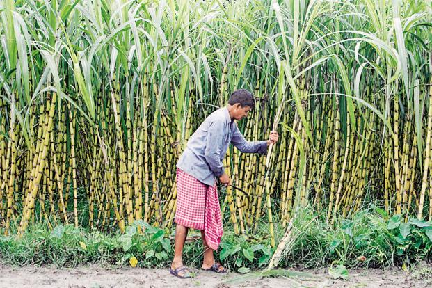 Sugar cane farmers have been waging a long battle with mills and the state government, which owe them money for the crops purchased from them. Photo: Reuters