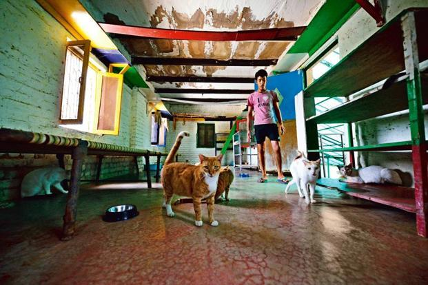 The Gurgaon shelter has 70 cats, with nooks and shelves where the animals can play to their heart's content or curl up for a nap.