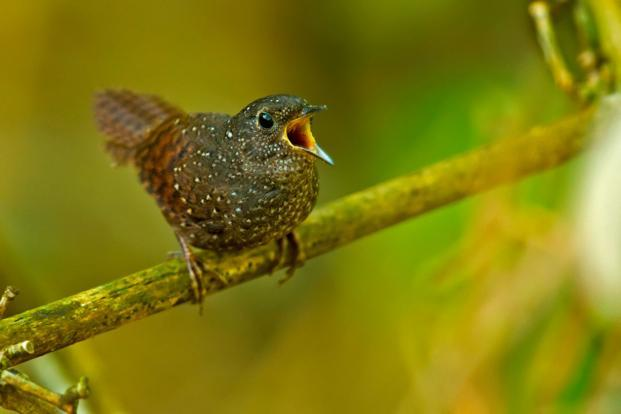 Spotted-Wren-babbler. Photo courtesy: Ramki Sreenivasan/Conservation India