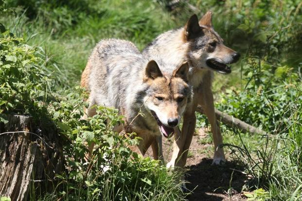 The number of wolves living in and around the Chernobyl site is more ... Human Animal Mutations