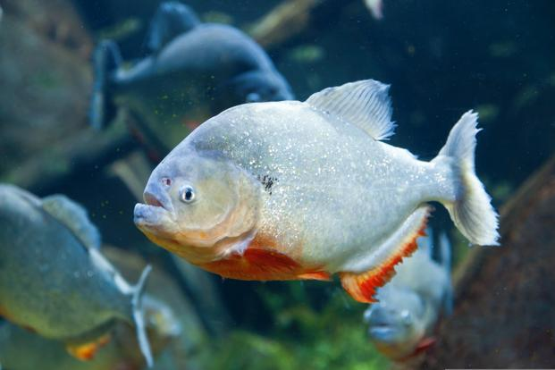Piranhas in the Godavari: How invasive species are wreaking havoc