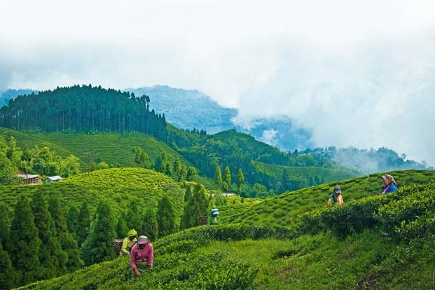 Downhill In Darjeeling Livemint