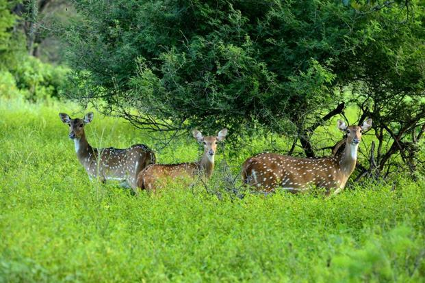 Deer at the Cauvery Wildlife Sanctuary. Photo: Hemant Mishra/Mint