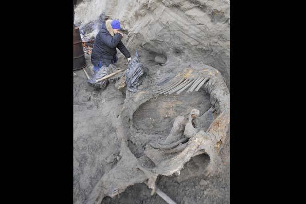 Researcher Sergey Gorbunov working on the excavation of a woolly mammoth carcass from frozen sediments on a coastal bluff on the eastern shore of Yenisei Bay in the central Siberian Arctic. Photo: Reuters