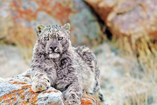 Snow leopards species  ResearchGate
