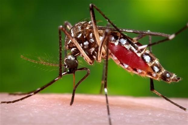 Image result for Aedes Aegypti Mosquito.