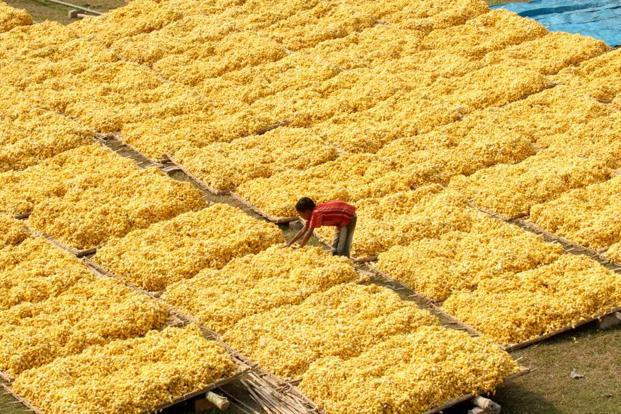 A file photo shows silkworm cocoons placed in heaps and left to dry in the sun, a preliminary step in the production of silk. Photo: Indranil Bhoumik/Mint