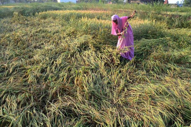 Unseasonal rains in the last few days in several parts of the country are once again reported to have damaged the winter crop; production was affected last year as well due to the same reason. Photo: PTI