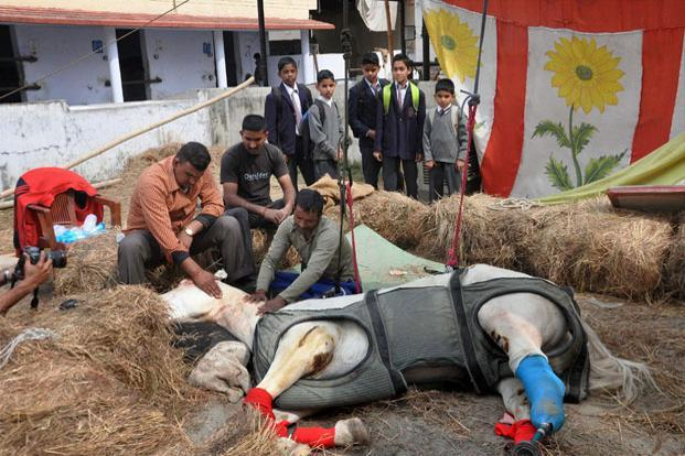 The injured police horse Shaktimaan, whose leg was amputated and replaced with an artificial leg, in Dehradun. Photo: PTI