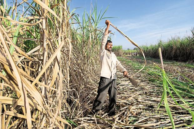Maharashtra is estimated to produce 830,000 tonnes of cane in 2015-16, which represents a 21% drop over the previous season's output. Photo: Aniruddha Chowdhury/Mint
