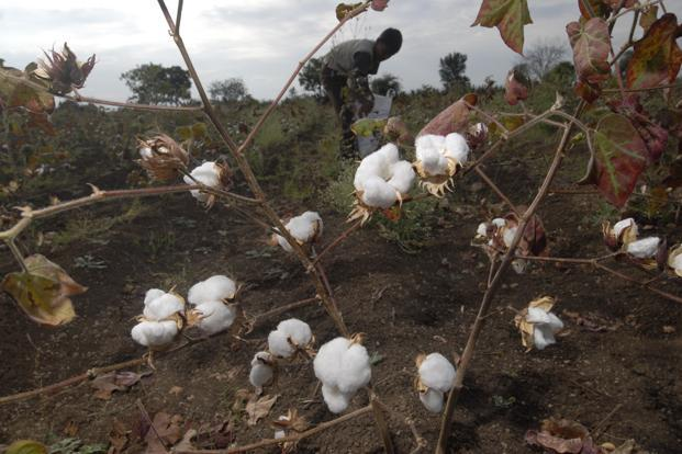 In March, the government cut the price of genetically modified Bollgard II cotton seeds to <span class='WebRupee'>Rs.</span>800 (per 450 gram packet) from <span class='WebRupee'>Rs.</span>830-1,000 earlier and slashed royalty fees by 74%. Photo: Abhijit Bhatlekar/ Mint