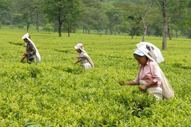 Tea farming remains a labour-intensive process where leaves are plucked by hand. Photo: Mint