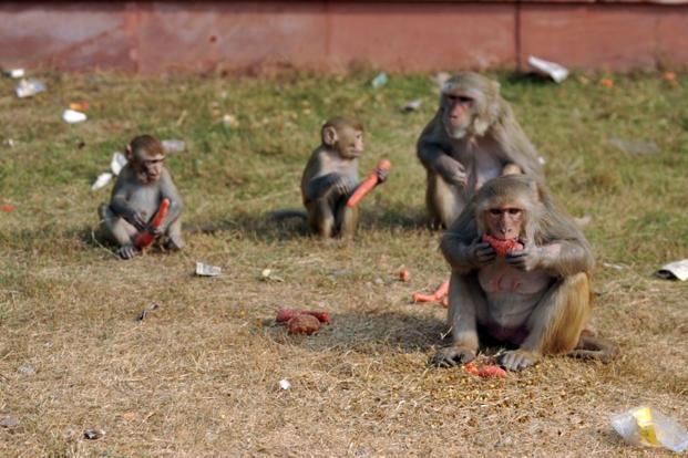 A file photo of rhesus macaque monkeys. Photo: AFP
