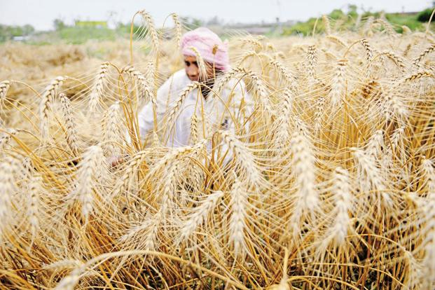 According to the Census, between 2001 and 2011, India had 9 million fewer farmers, but added 38 million agricultural labourers.  Photo: HT