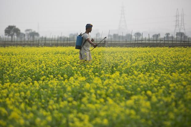 The issue of field trials of GM crops and their commercialization, especially food crops such as brinjal and mustard, has been a contentious one in India. Photo: AP