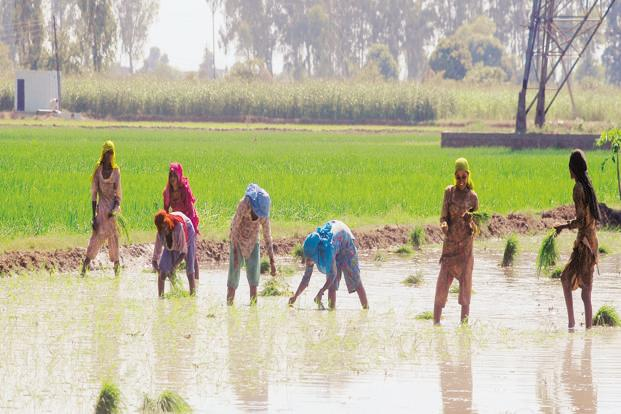 The Crisil report warned that farm output is at risk in case La Nina conditions develop in the coming weeks, leading to excessive rainfall in September when crops mature. Photo: Mint