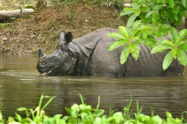 A one-horned rhinoceros swims through flood waters in flood-hit Kaziranga National Park, in Assam on Friday. Photo: PTI