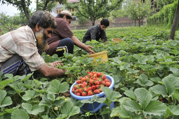 Farmers in Rajasthan have also taken up cultivation of exotic flowers such as gladiolus, lilium, gerbera, rose and carnations. Photo: Hindustan Times
