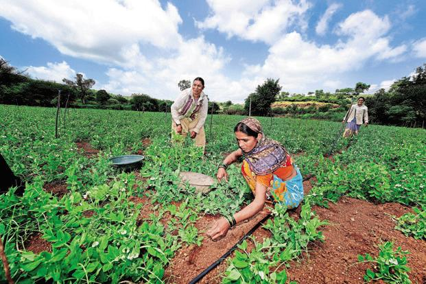 Farmers working in their plantations in Bhiwri village of Pune. Abhijit Bhatlekar/Mint