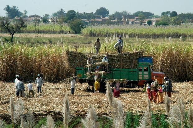 Although the central govt fixes the cane price every year, some state govts such as UP invariably raise the rate to court farmers, which is a large voting bloc. Photo: Mint