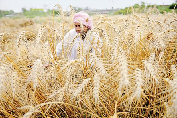 The next wheat harvest will hit markets only in April, and there are apprehensions that demonetisation may impact planting and yields. Photo: HT