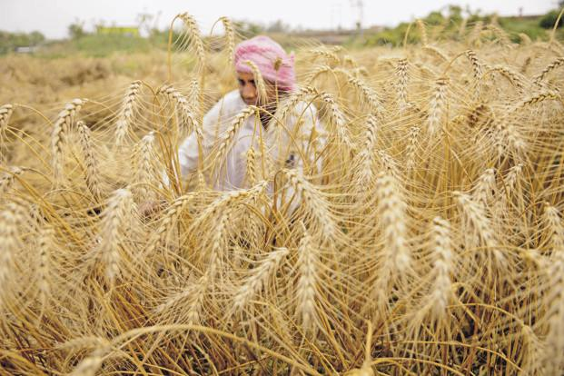 According to the agriculture ministry, wheat has so far been planted in 22.6 million hectares, a little over 2% less than the normal area of 23 million hectares. Photo: HT