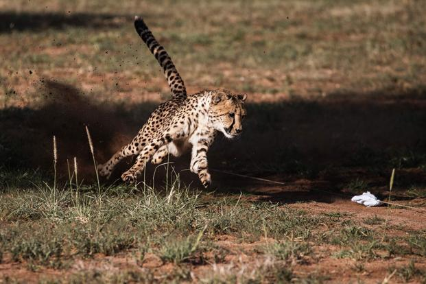 The study found that 77% of cheetahs' remaining habitat falls outside protected areas, leaving it especially vulnerable to human interference. Photo: AFP