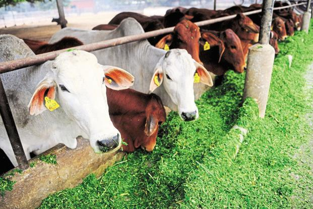 Since the BJP-led NDA assumed power in 2014, there have been several occasions when the issue of cow protection has been in the limelight. Photo: Pradeep Gaur/Mint