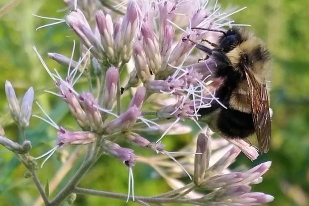 Bumblebees decline is likely due to a combination of factors: loss of habitat, disease and parasites, use of pesticides, climate change and extremely small population size. Photo: Reuters