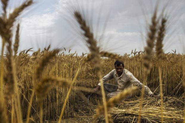 While a dip in temperature over the past week will favour the wheat cultivation, lower sales of seeds and fertilizers could mean poorer crop management and lower yields. Photo: Bloomberg