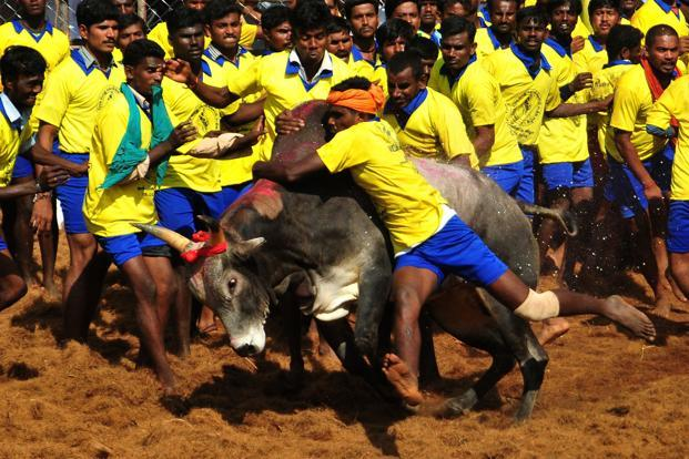 A file picture shows participants attempting to hold down a bull during the traditional bull- taming festival called Jallikattu in Palamedu near Madurai. Photo: AFP